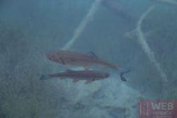 Рыба в Плитвицких озерах
