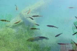 Рыба в озере - ближний план