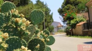 Придорожные кактусы в Пуле