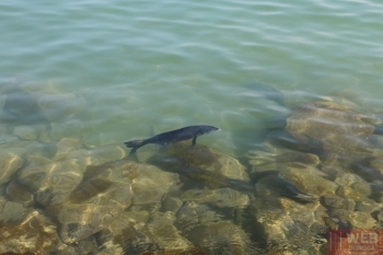 Ручная рыба в Балатоне
