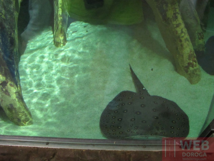 Скат в аквариуеме