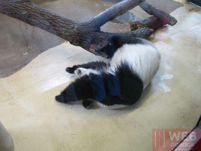 Панда утомилась