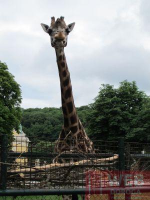 Жирафы в зоопарке Шёнбрунн