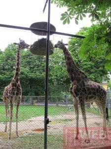 Кормилка жирафов в зоопарке Шёнбрунн