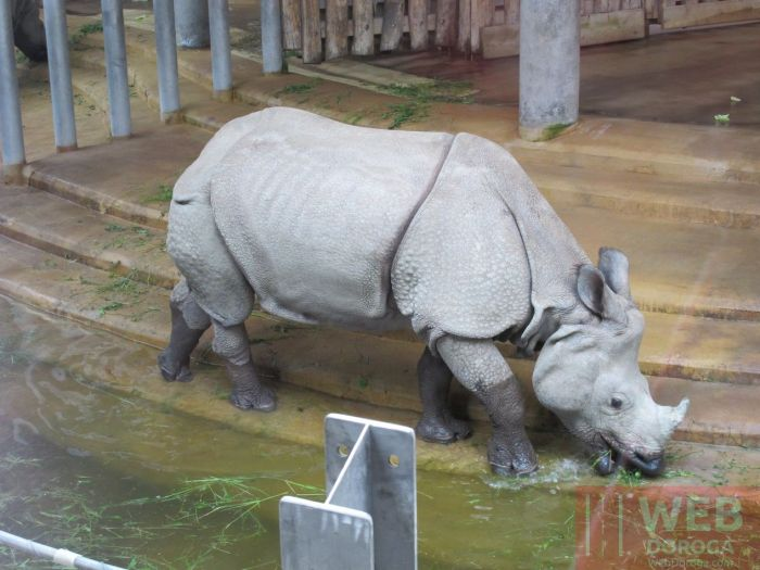 Носорог в Шёнбруннском зоопарке