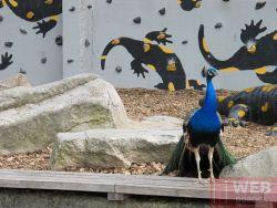 Павлины просто гуляют по улицах Венского зоопарка