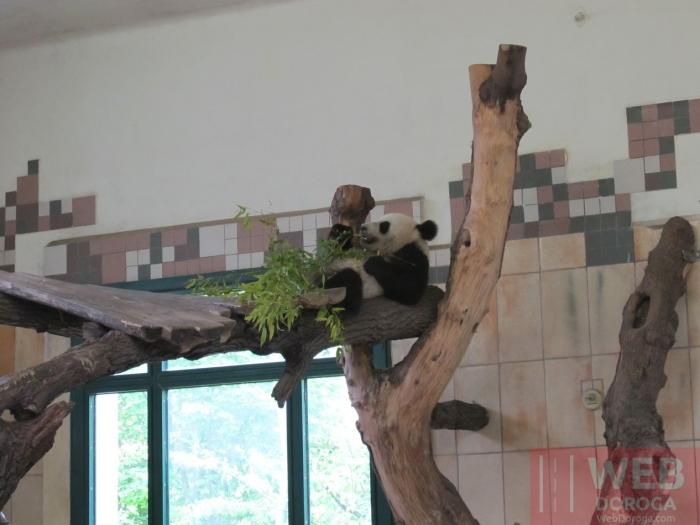 Зоопарк Шёнбрунн - Панда отдыхает