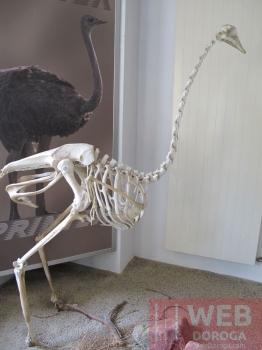 Схема страуса - остались одни кости :-)