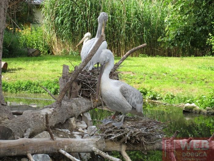 Пеликаны в зоопарке - нестись или не нестись